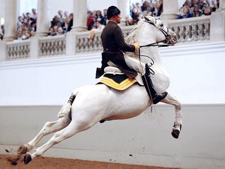 White as a Lippizaner Stallion