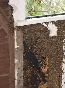 Holistic Hives swarm removal