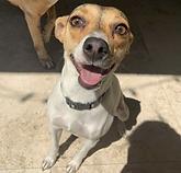 LOLA - 1.5Y Rat Terrier girl.png