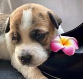 LANAI - 2M Terrier girl.png