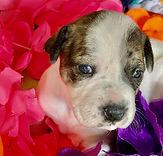 MAUI - 2M Terrier mix girl.jpg