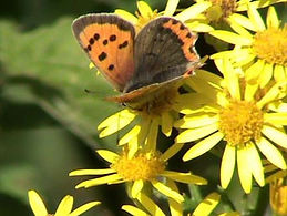 small copper (600 x 451) (FILEminimizer)