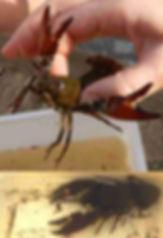 CrayfishAutumn2018.jpg