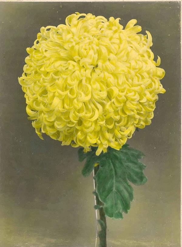 YellowDuke.jpg