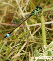 Blue-tailedDamselflyMale2.JPG