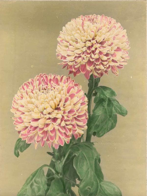 oldchrysanthSalmonUna.jpg