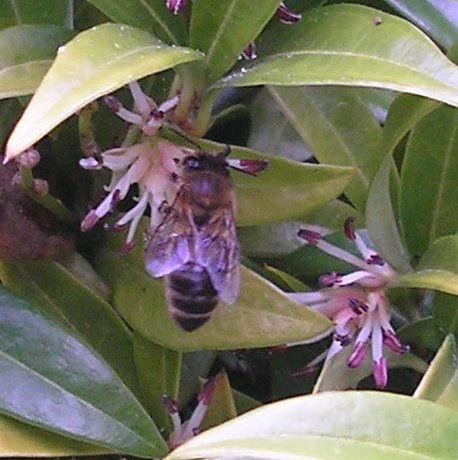 BeeSarcococcaSmallFeb2012.jpg