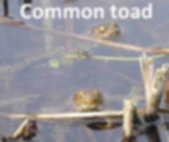 CommonToad.jpg