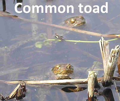 CommonToad.jpg