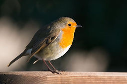 Robin. Bird watching. Garden visitors. P