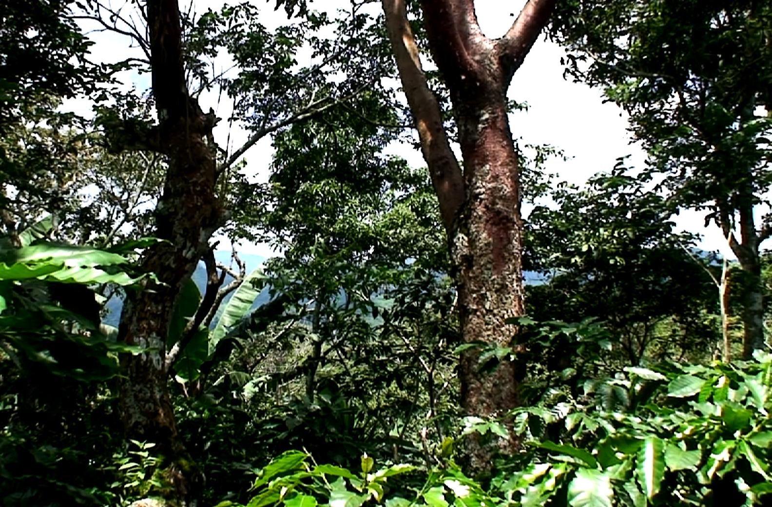 mischkultur-in-kaffeeplantage