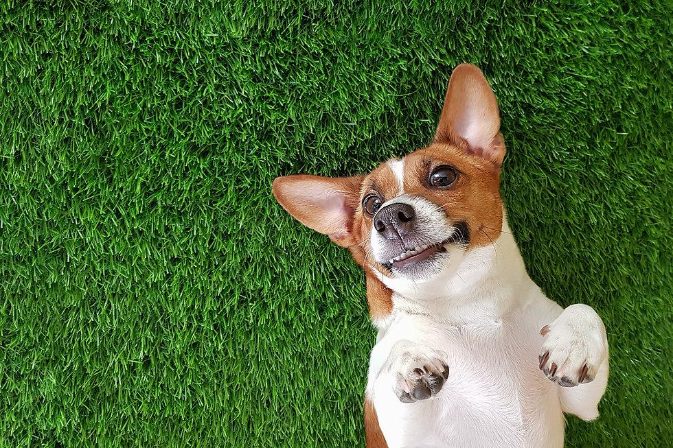 Crazy smiling dog jack russel terrier, l