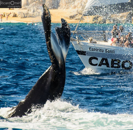 Whale Watching in Los Cabos, a Unique Experience of a Lifetime