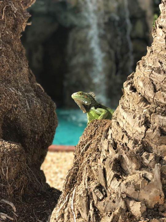 Posing Iguana at Tropicana