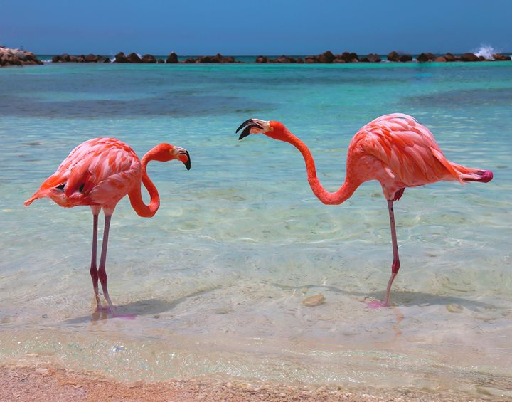 Flamingos on Renaissance Private Island, Aruba