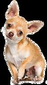 PBC_Chihuahua_Home.png