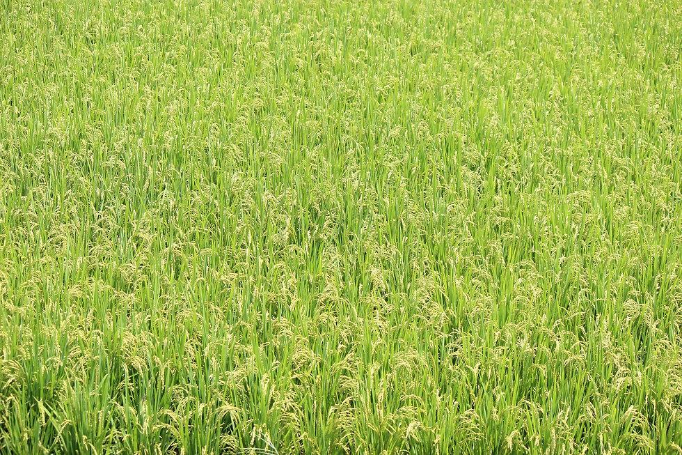 yamadas-rice-fields-889254_1920.jpg