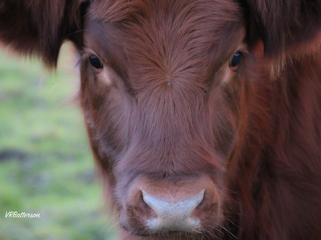 A Youngster - Highland Cow