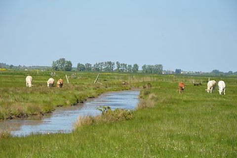 Vaches-Marais-de-Brouage-3-©-CdC-BM-1024