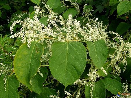 renouee-du-japon-fleurs-et-feuilles-viso