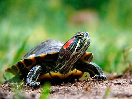 tortue-floride-description.jpg