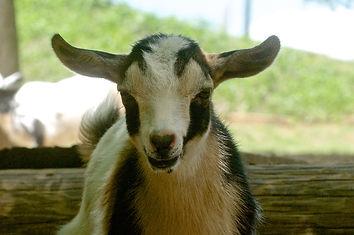Nigerian dwarf baby goat