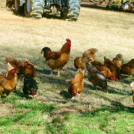 Chickens w rooster.jpg