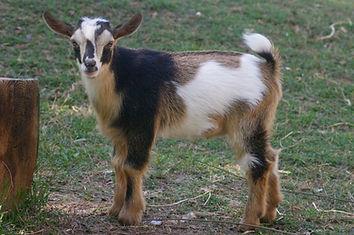 Nigerian Dwarf buck kid
