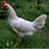 Thumbnail: Started Pullets