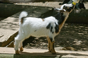 M16 Floppy Sheep dog.jpg