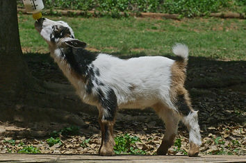 M16 Floppy Sheep dog2.jpg