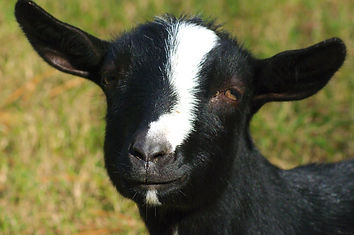 Black nigerian dwarf goat