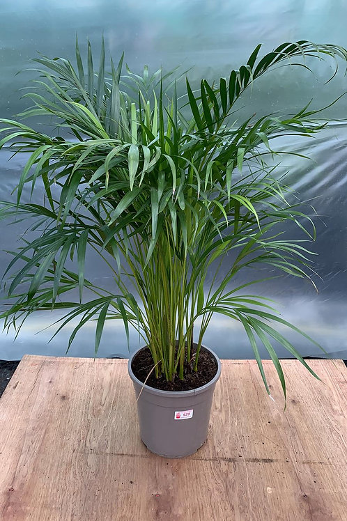 Areca Palm 'Dypsis lutescens'