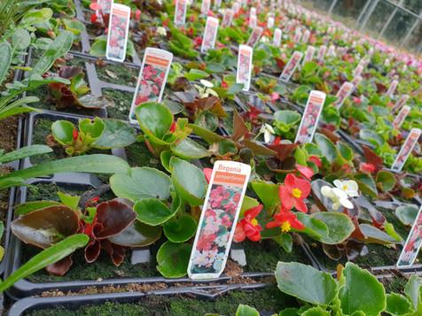 Begonia bedding
