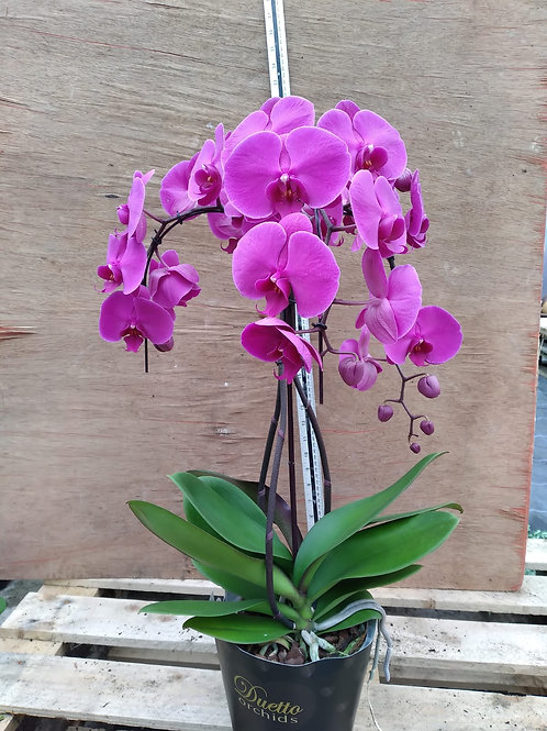 Phalaenopsis Orchid triple stem