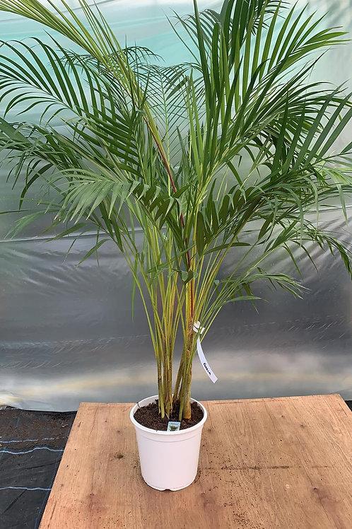 Areca Palm 'Dypsis lutescens'