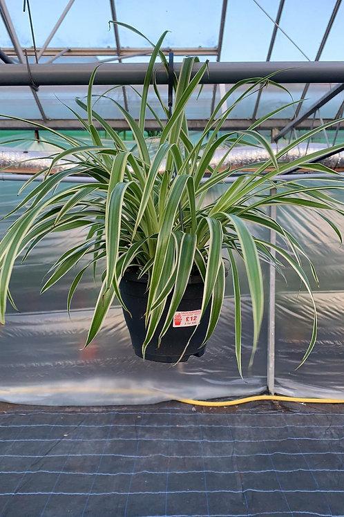 Spider plant 'Chlorophytum comosum'