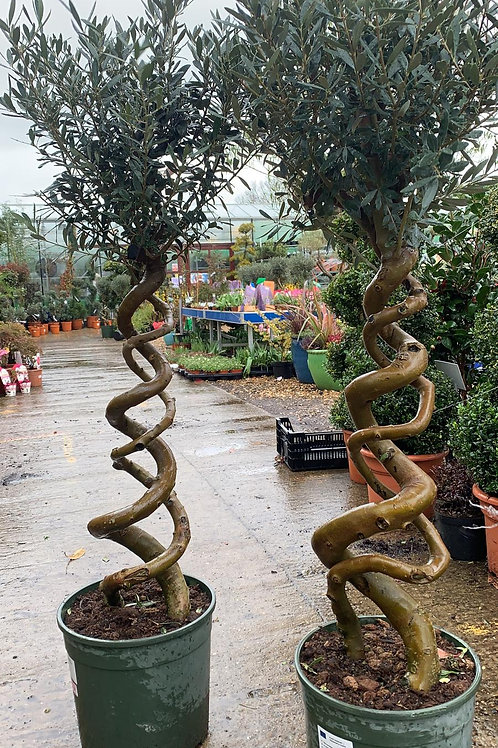 Double twisted Olive Tree