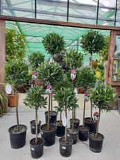 Bay tree selection