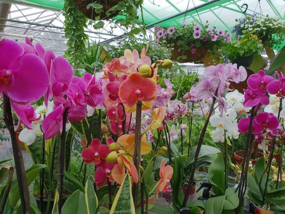 Colourful Phalaenopsis