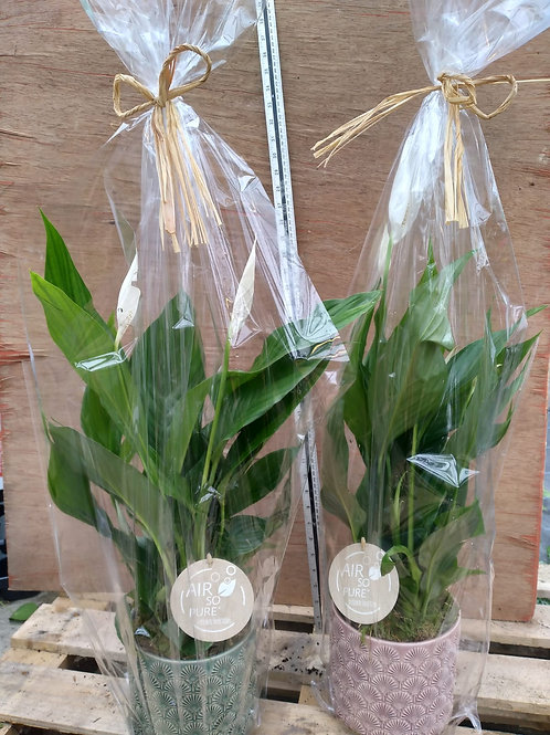 spathiphyllum 'Peace Lily'
