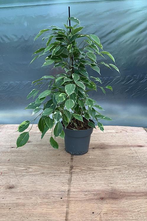 Ficus Benjamina 'Weeping Fig'
