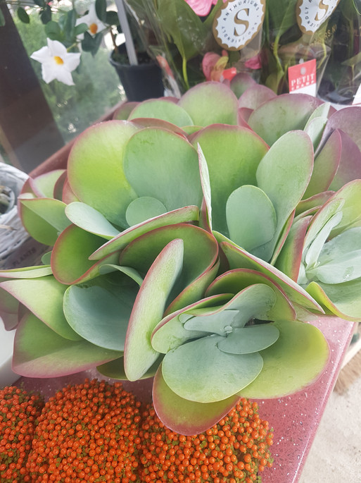Flapjack succulent plant