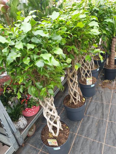 plaited Ficus