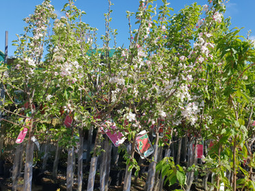 Fruit trees in flower