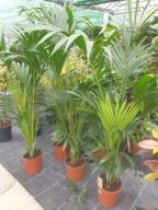 Kentia palms