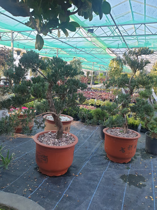 Large Podocarpus