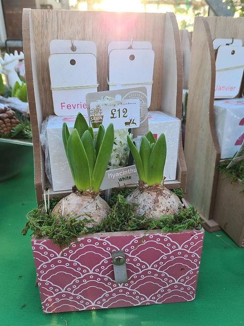 Hyacinth Calendar Planter