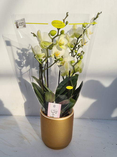 White Phalaenopsis Orchid in gold pot