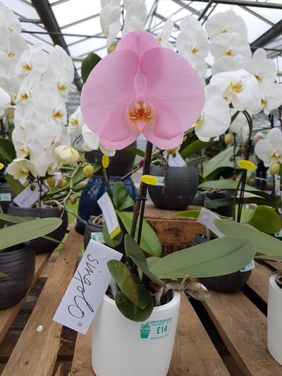 Singlo Phalaenopsis gift